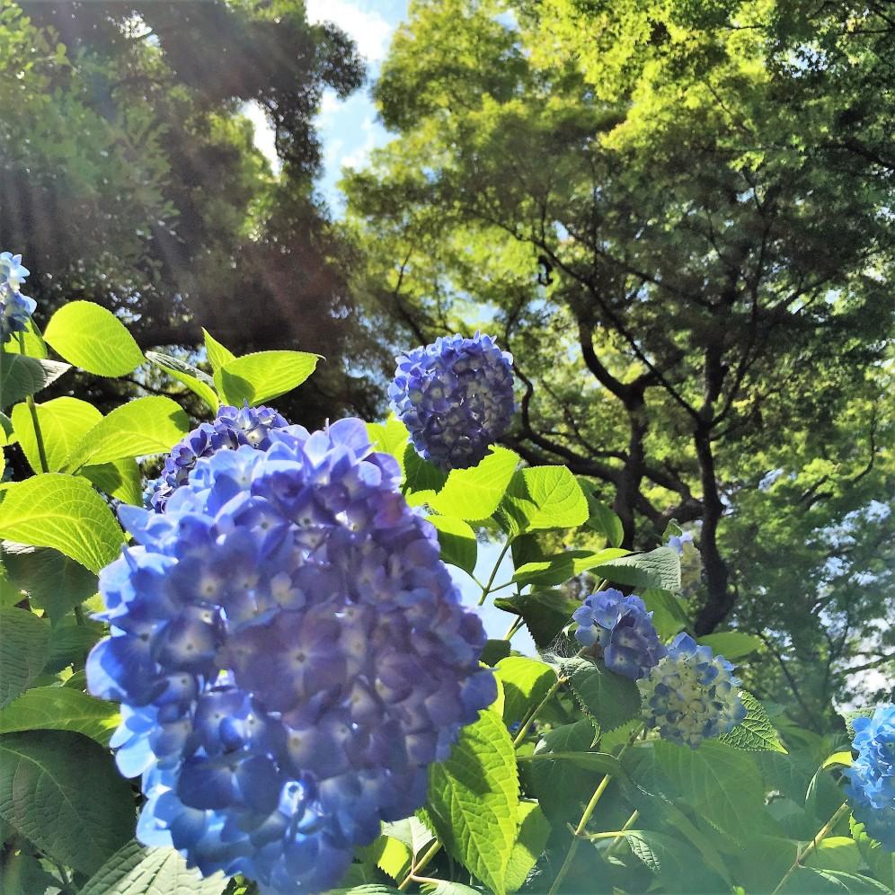 Blue ajisai grove@Imperial Park