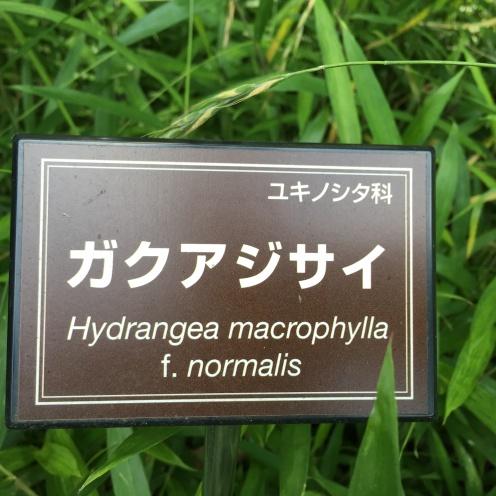 Hydrangea@Imperial Park
