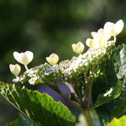 ajisai blossom@meigetsuin