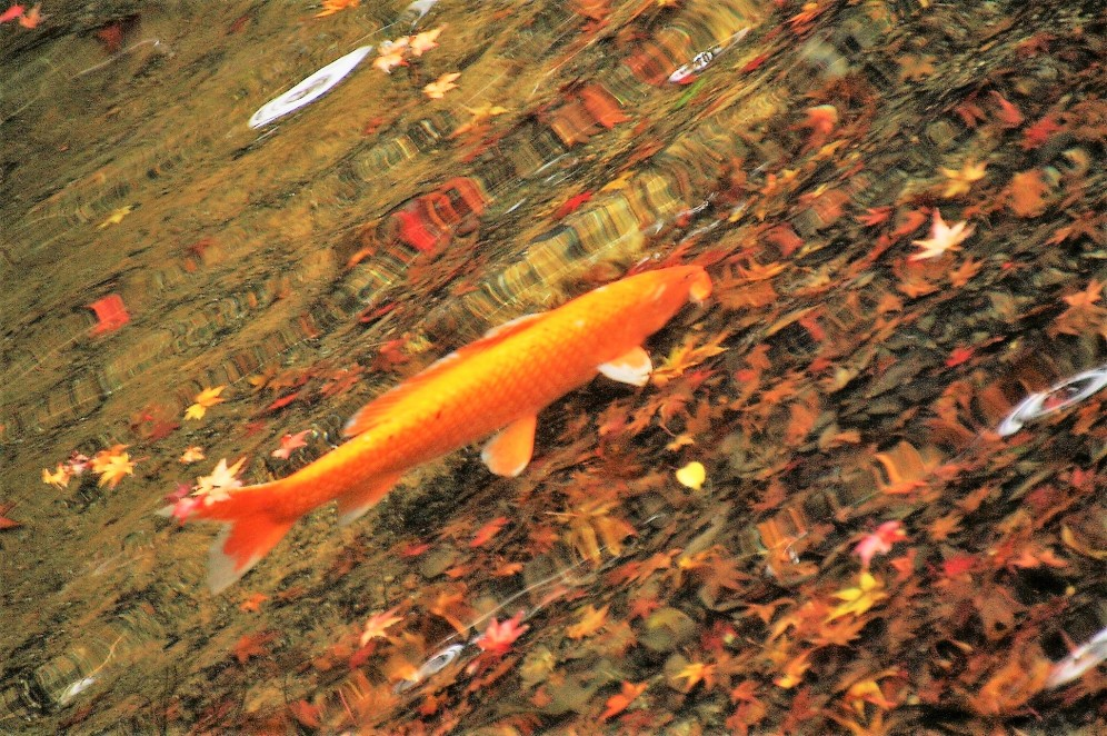 floating-carp